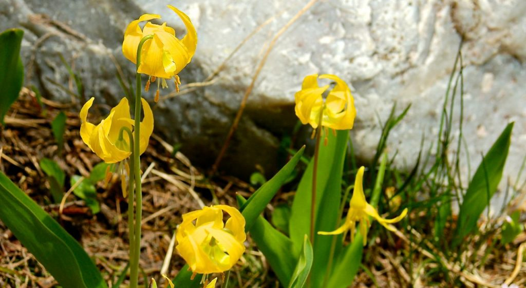 seeing god in glacier lilies
