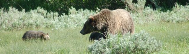 Grizzly mama and cubs