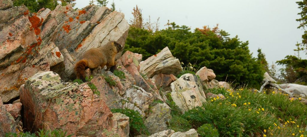 marmot in the snowy range mountains