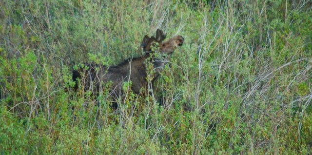 moose in the bighorns