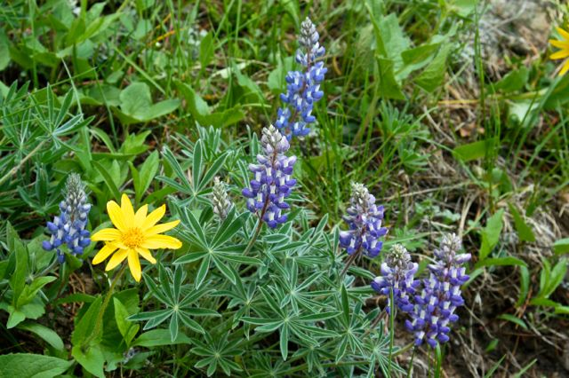 wild flowers in the bighorn mountains