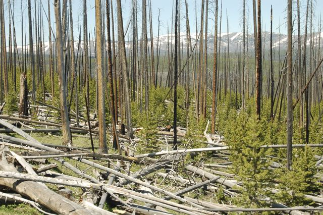post-forest fire in yellowstone