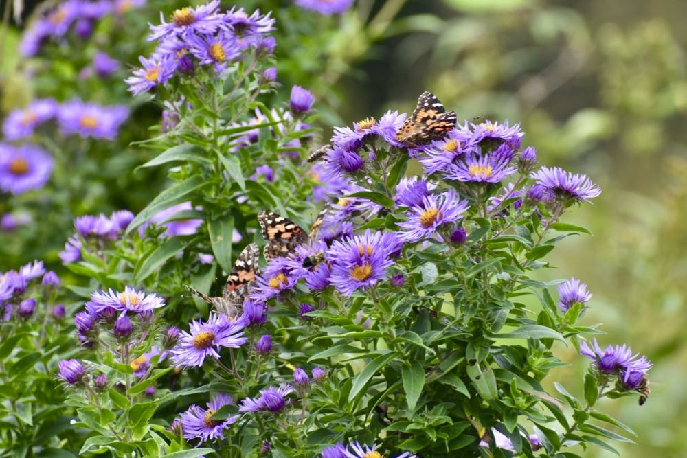 aster and butterflies